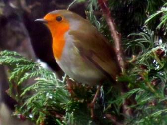 Robin sheltering