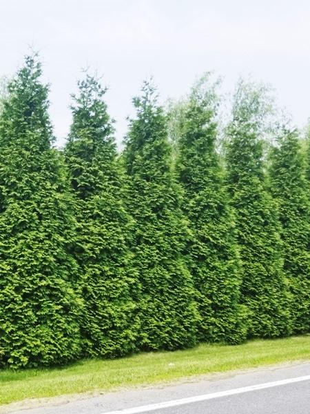 Thuja plicata 'Green Giant Arborviate'