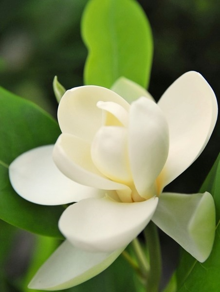 Magnolia virginiana, 'Sweetbay Magnolia'