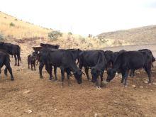 vacas paridas comiendo el block de proteina