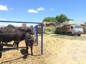 recibiendo alfalfa