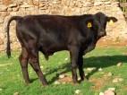 toro 445/4, 9 meses 300 kg