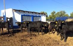 becerras brangus de registro 8 meses edad rancho tarahumar