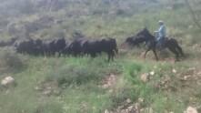 moviendo vacas
