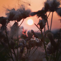 CottonFlowers