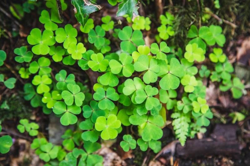 Shamrocks irlandeses na floresta