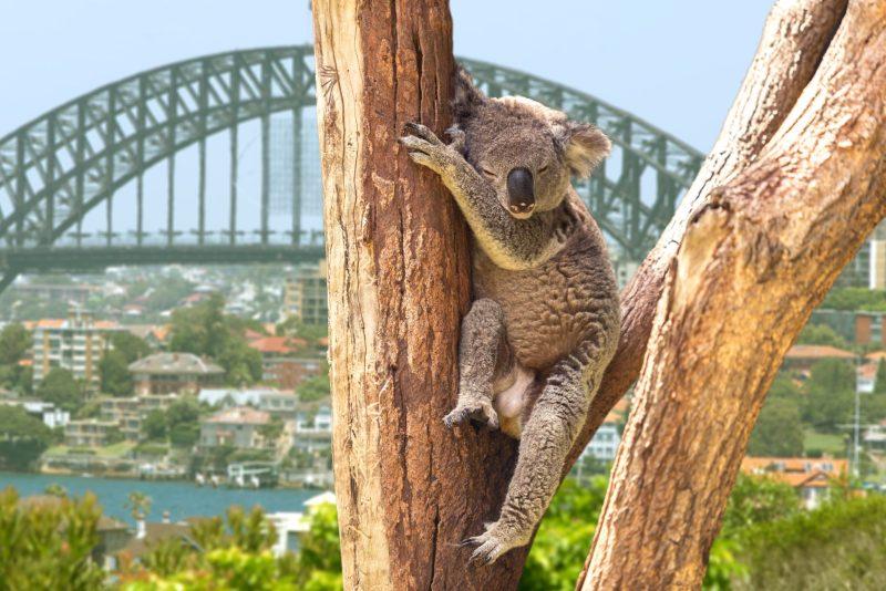 o coala é símbolo de cultura australiana