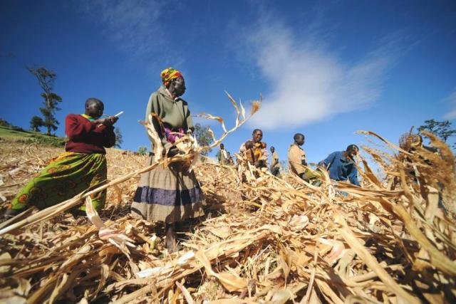 O Programa Mundial de Alimentos (WFP), vencedor do Nobel da Paz em 2020, ajuda fazendeiros locais com as plantações de trigo em Kapchorwa, Uganda.