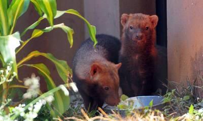 Zoológico de Brasília abriga casal de cachorros-vinagre