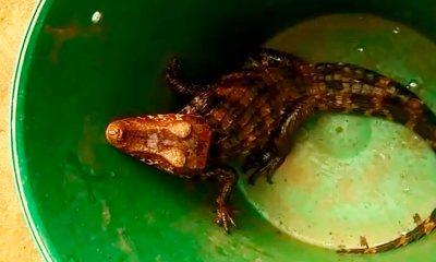 Filhote de jacaré é encontrado dentro de residência, em Planaltina
