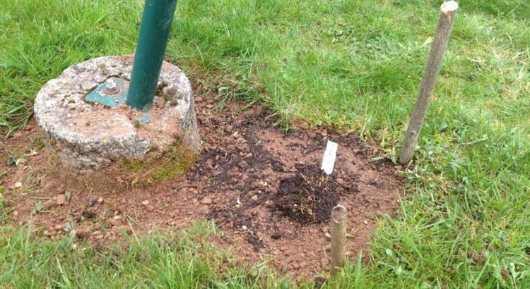 Houblon columbus tout juste mis en terre