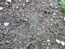 houblon Fuggle qui montre ses premières vraies feuilles