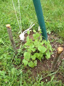 Le 13 mai 2016, le houblon Tradition continue à grandir rapidement depuis sa taille