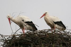 Storchenfest im NABU-Artenschutzzentrum Leiferde am Sonntag, 22.4. von 11 bis 17 Uhr