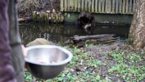 Weil der Tierpfleger weit werfen kann, kommt auch Vitali beim Füttern nicht zu kurz. Foto: Beate Ziehres
