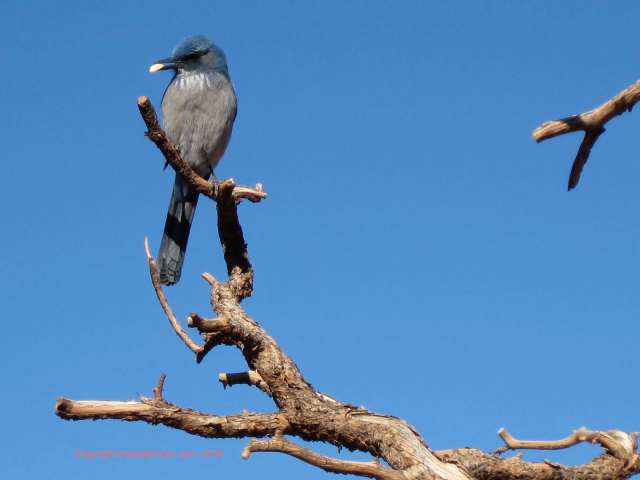 blue sky blue jay grand canyon