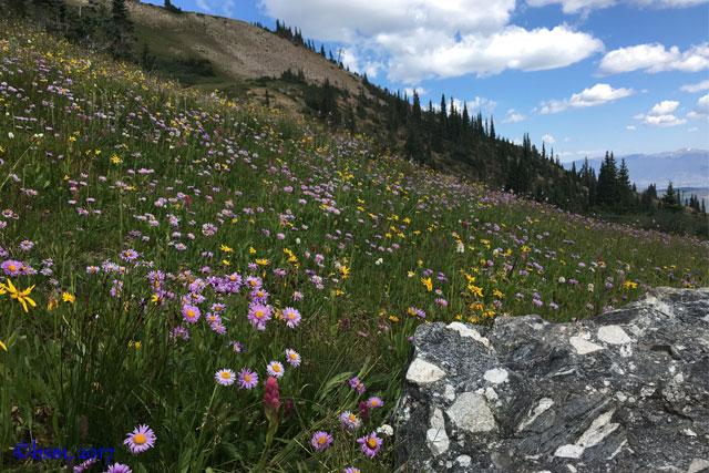 wildflowers horseshoe basin breckenridge colorado