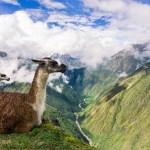 Llama Magic. Inca Trail. Peru.