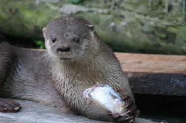 River Otter Conservation Voluntourism Florianopolis Brazil