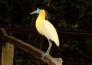 Capped-Heron- Pantanal