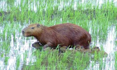 Capybara Family- Pantanal