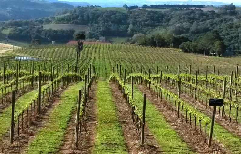 Vineyards @ Cave Geisse- Pinto Bandeira- RS