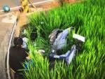 男無照騎車摔落稻田 傷重死亡