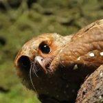 南美洲中一種怪鳥,全身都是油脂,雛鳥積存油脂比成鳥還豐富