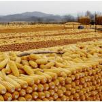 第二大主產州二茬玉米產量預估遭下調 巴西玉米出口或將大幅減少