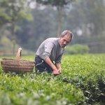 哥倫比亞遇上廣州:洋茶人雲上喫茶 傳播中國茶味道