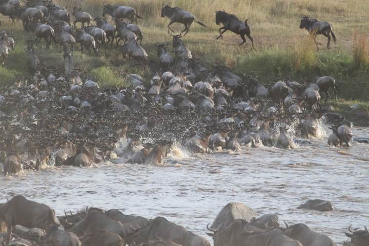 wildebeest-migration-2322110_1920.jpg