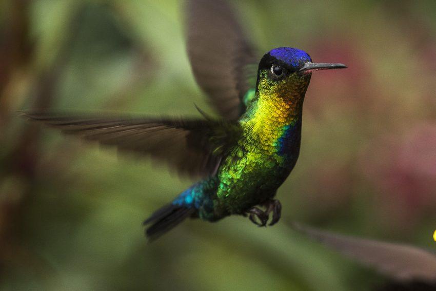 Fiery-throated metaltail hummingbird, Cloud Forest, Costa Rica, Wikimedia, Francesco Veronese
