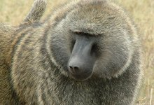 Photo of Homosexual Baboon Terrorises Villagers in South Africa, Rapes 5 Men