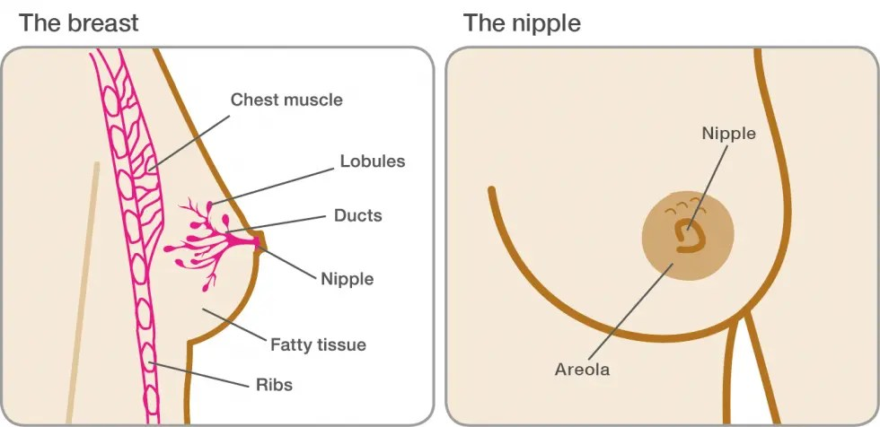 Breast changes during and after pregnancy | Breast Cancer Now