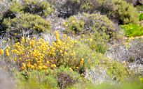 California Native Plants and Flowers