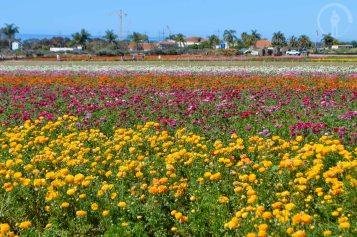 Carlsbad Flower Field
