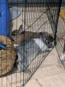 My rabbits flopping together in their pen