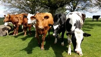 Beef cattle at Dyrham Park