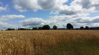 Wheat in a neighbouring field
