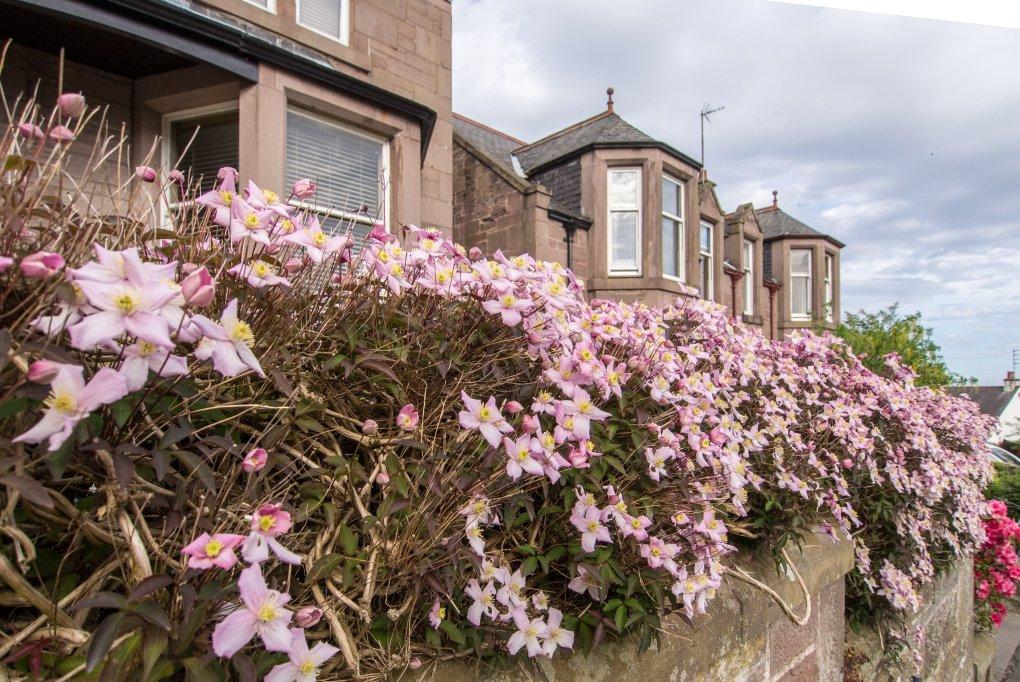 Clematis hedge in bloom