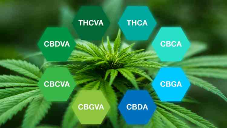 Common cannabinoid acids found in cannabis.