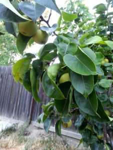 asian_pears_june_2016
