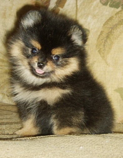 Black Pomeranian Puppy For Sale Near Me : black, pomeranian, puppy, Puppies, Pomeranian,, Pomeranians,, ##f_category##, Phoenix,, Arizona