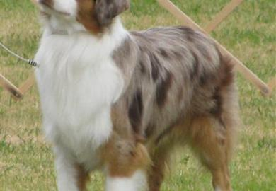 Australian Shepherds For Sale In Arkansas