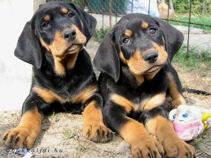 Top 10 Cheapest Dog Breeds: Austrian Black and Tan Hound