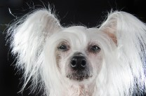 Holly Hairless Chinese Crested