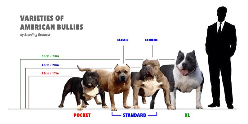 Pit Bulls VS American Bullies | MVP Bullies