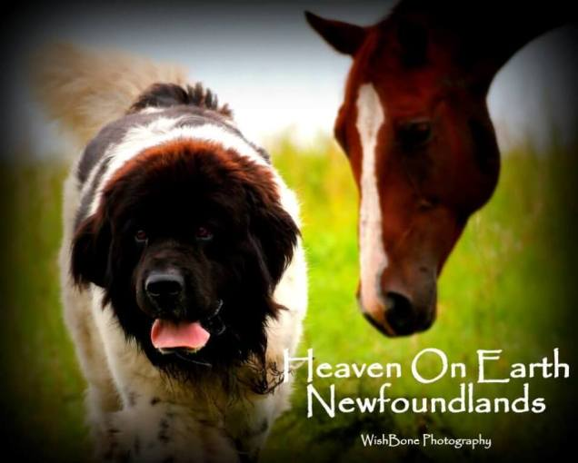 Heaven On Earth Newfoundlands With a Horse