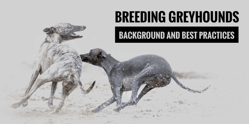 Breeding Greyhounds — Guide and Best Practices in