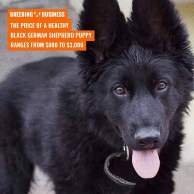 black german shepherds genetics